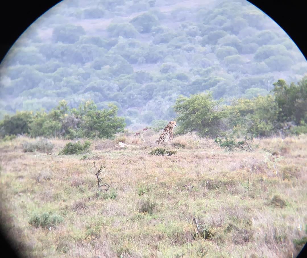 I spotted them !! 2 cheetah 🐆🐆in the whole Addo Elefantpark 🐘in over 160.000 ha !! And i spotted them first 🙋🦎- amazing